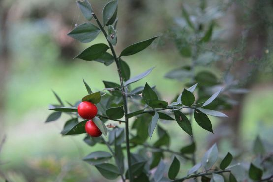 Flora_della_Sardegna_133_(3)