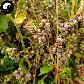 Comprar-Sementes-de-Erva-de-Trigo-Sarraceno-400-pcs-Planta-Fagopyrum-Esculentum-Para-Qiao-Mai.jpg_640x640