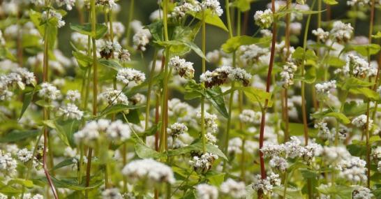 grano-saraceno (1)