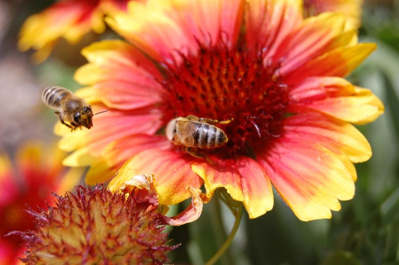 Bees_on_flower