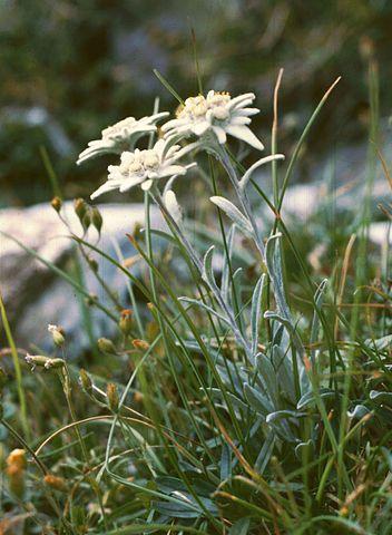 352px-Leontopodium_alpinum1