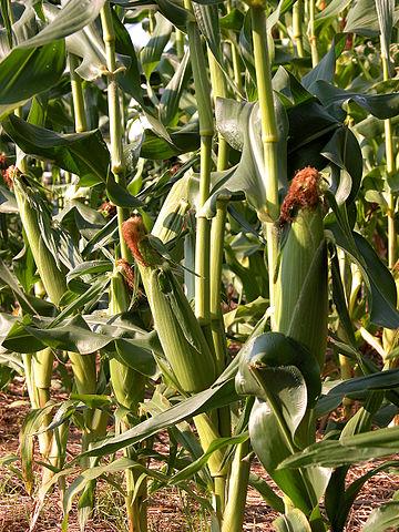 360px-Corn_(Zea_mays)_-_Aug._2007
