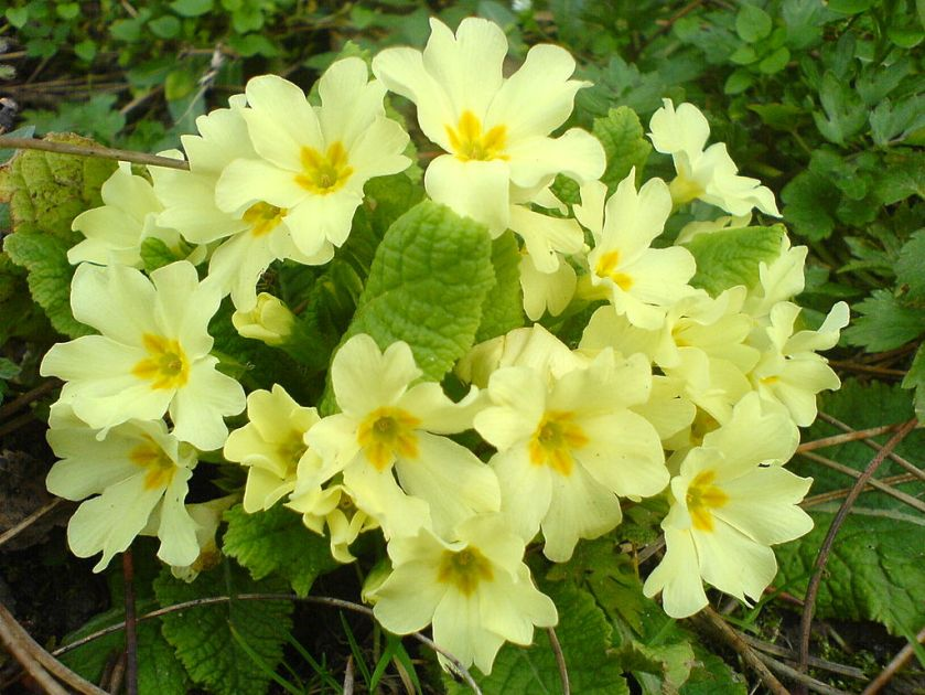 1024px-Prolećno_cveće_3