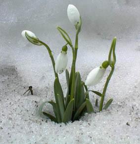 Schneeglocken