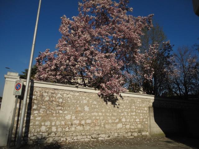 magnolie (2)