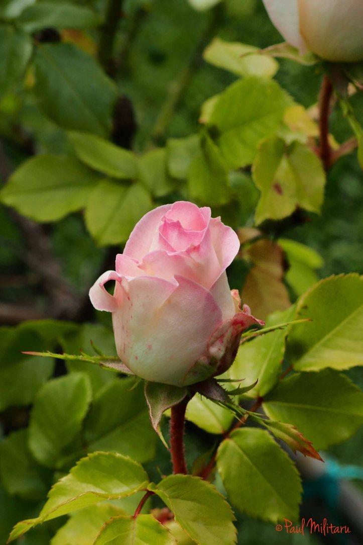 pink bud in bloom